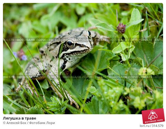 Лягушка в траве, эксклюзивное фото № 314579, снято 16 июля 2007 г. (c) Алексей Бок / Фотобанк Лори