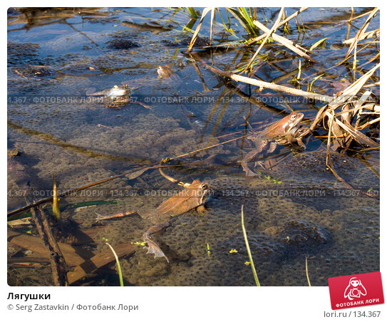 Лягушки, фото № 134367, снято 14 мая 2004 г. (c) Serg Zastavkin / Фотобанк Лори