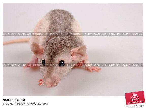 Лысая крыса, фото № 25347, снято 18 марта 2007 г. (c) Golden_Tulip / Фотобанк Лори