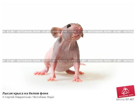 Лысая крыса на белом фоне, фото № 87487, снято 23 сентября 2007 г. (c) Сергей Лаврентьев / Фотобанк Лори