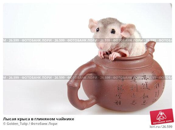 Лысая крыса в глиняном чайнике, фото № 26599, снято 18 марта 2007 г. (c) Golden_Tulip / Фотобанк Лори