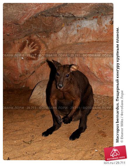 Macropus bernardus. Пещерный кенгуру крупным планом., фото № 29711, снято 15 апреля 2007 г. (c) Eleanor Wilks / Фотобанк Лори