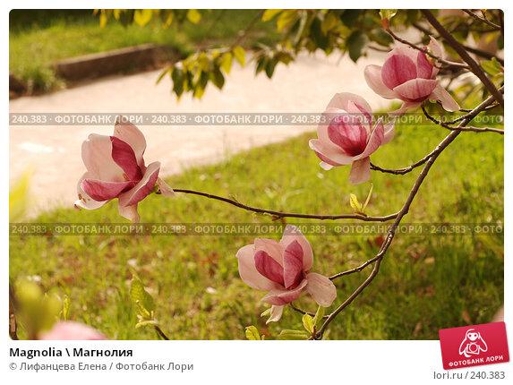 Magnolia \ Магнолия, фото № 240383, снято 24 марта 2008 г. (c) Лифанцева Елена / Фотобанк Лори