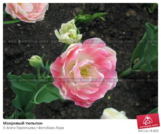 Махровый тюльпан, фото № 4423, снято 21 мая 2006 г. (c) Агата Терентьева / Фотобанк Лори