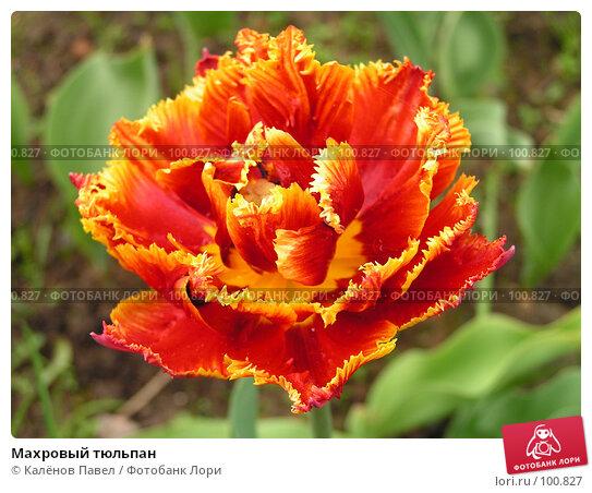 Махровый тюльпан, фото № 100827, снято 21 мая 2005 г. (c) Калёнов Павел / Фотобанк Лори