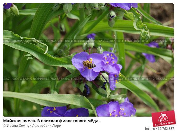Майская пчела. В поисках фиолетового мёда. Стоковое фото, фотограф Ирина Семчук / Фотобанк Лори