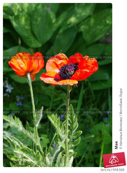 Мак, фото № 918543, снято 10 июня 2009 г. (c) Наталья Волкова / Фотобанк Лори