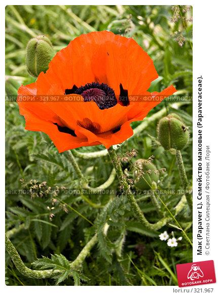Мак (Papaver L). Семейство маковые (Раpaveraceae)., фото № 321967, снято 15 июня 2008 г. (c) Светлана Силецкая / Фотобанк Лори