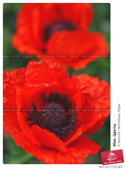 Мак, Цветы, Flowers, Poppy, фото № 114367, снято 11 июня 2005 г. (c) Astroid / Фотобанк Лори