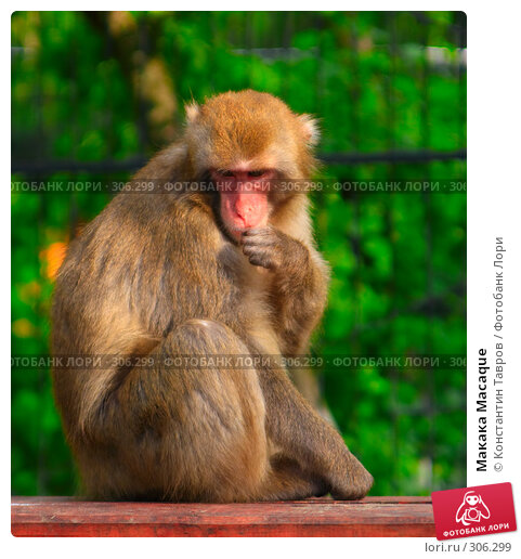 Макака Macaque, фото № 306299, снято 4 июня 2007 г. (c) Константин Тавров / Фотобанк Лори