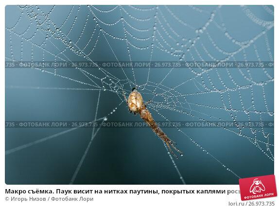 Купить «Макро съёмка. Паук висит на нитках паутины покрытых каплями росы», эксклюзивное фото № 26973735, снято 1 сентября 2017 г. (c) Игорь Низов / Фотобанк Лори