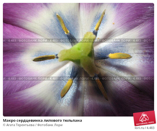 Макро сердцевинка лилового тюльпана, фото № 4483, снято 25 мая 2006 г. (c) Агата Терентьева / Фотобанк Лори