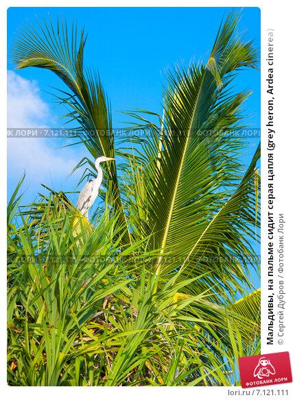 Купить «Мальдивы, на пальме сидит серая цапля (grey heron, Ardea cinerea)», фото № 7121111, снято 5 февраля 2013 г. (c) Сергей Дубров / Фотобанк Лори
