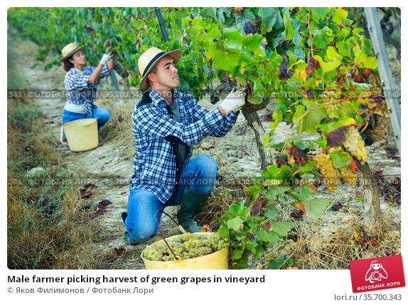 Male farmer picking harvest of green grapes in vineyard. Стоковое фото, фотограф Яков Филимонов / Фотобанк Лори
