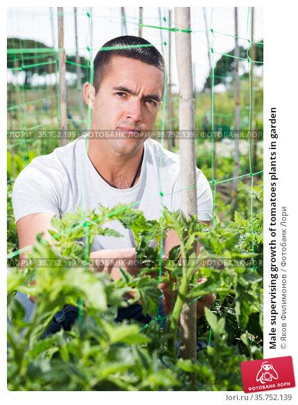 Male supervising growth of tomatoes plants in garden. Стоковое фото, фотограф Яков Филимонов / Фотобанк Лори
