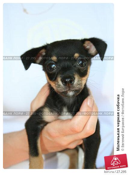 Маленькая черная собачка, фото № 27295, снято 24 июня 2006 г. (c) Евгений Батраков / Фотобанк Лори