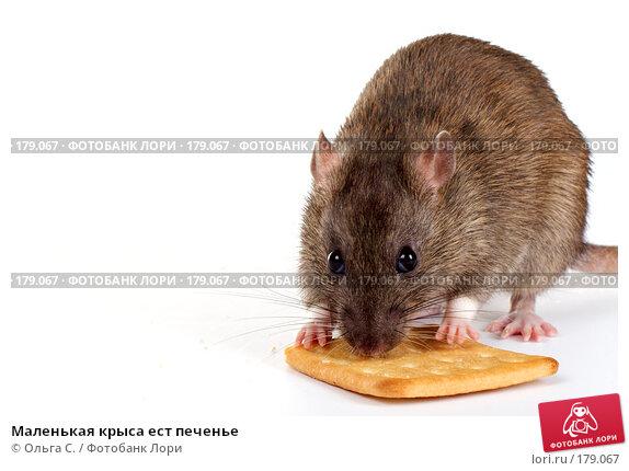 Маленькая крыса ест печенье, фото № 179067, снято 29 ноября 2007 г. (c) Ольга С. / Фотобанк Лори