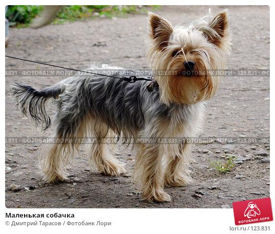 Маленькая собачка, фото № 123831, снято 8 июля 2007 г. (c) Дмитрий Тарасов / Фотобанк Лори