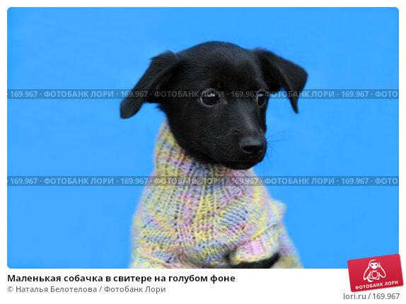 Маленькая собачка в свитере на голубом фоне, фото № 169967, снято 8 декабря 2007 г. (c) Наталья Белотелова / Фотобанк Лори