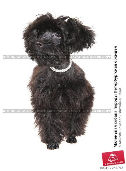 Маленькая собака породы Петербургская орхидея, фото № 237763, снято 30 марта 2008 г. (c) Максим Соколов / Фотобанк Лори