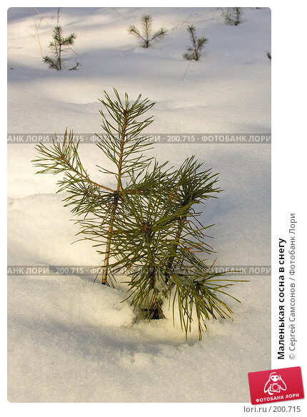 Маленькая сосна в снегу, фото № 200715, снято 3 февраля 2008 г. (c) Сергей Самсонов / Фотобанк Лори