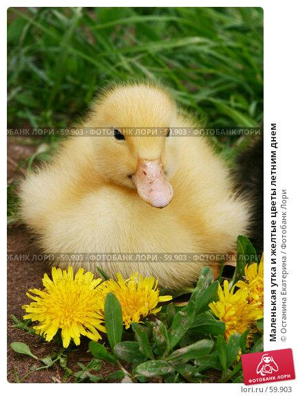 Маленькая утка и желтые цветы летним днем, фото № 59903, снято 26 мая 2007 г. (c) Останина Екатерина / Фотобанк Лори
