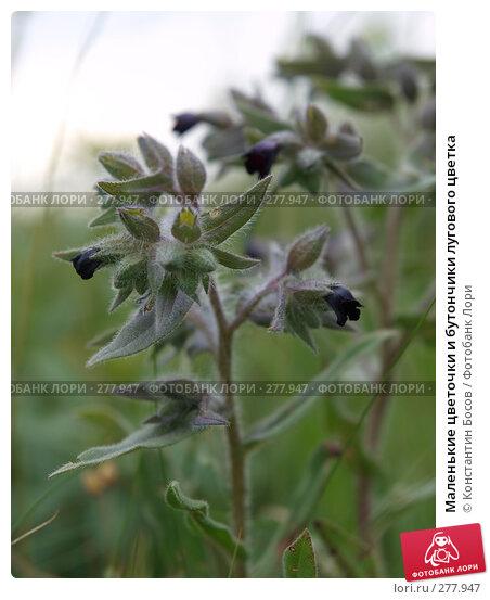 Маленькие цветочки и бутончики лугового цветка, фото № 277947, снято 25 октября 2016 г. (c) Константин Босов / Фотобанк Лори