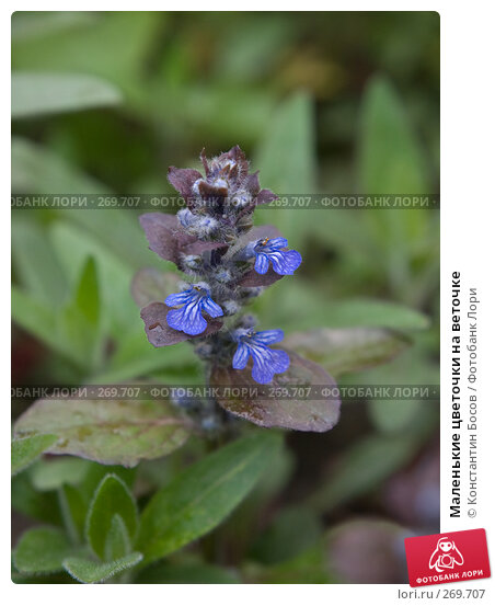 Маленькие цветочки на веточке, фото № 269707, снято 19 января 2017 г. (c) Константин Босов / Фотобанк Лори