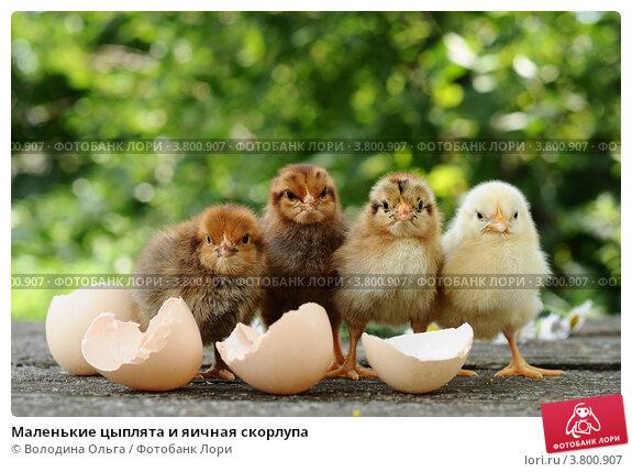 Купить «Маленькие цыплята и яичная скорлупа», фото № 3800907, снято 27 июля 2012 г. (c) Володина Ольга / Фотобанк Лори