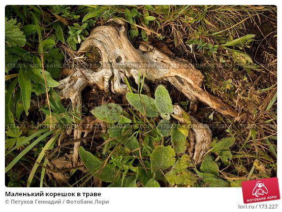 Маленький корешок в траве, фото № 173227, снято 10 августа 2007 г. (c) Петухов Геннадий / Фотобанк Лори
