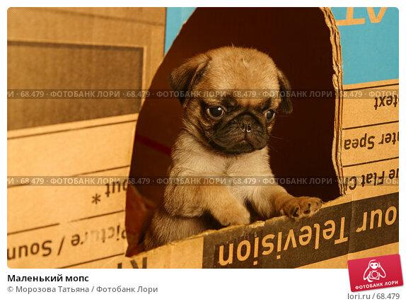 Маленький мопс, фото № 68479, снято 29 февраля 2004 г. (c) Морозова Татьяна / Фотобанк Лори
