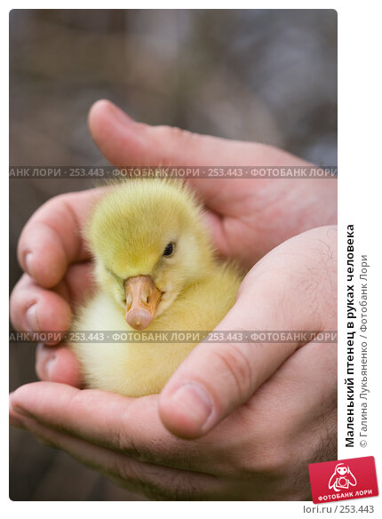 Маленький птенец в руках человека, фото № 253443, снято 13 апреля 2008 г. (c) Галина Лукьяненко / Фотобанк Лори