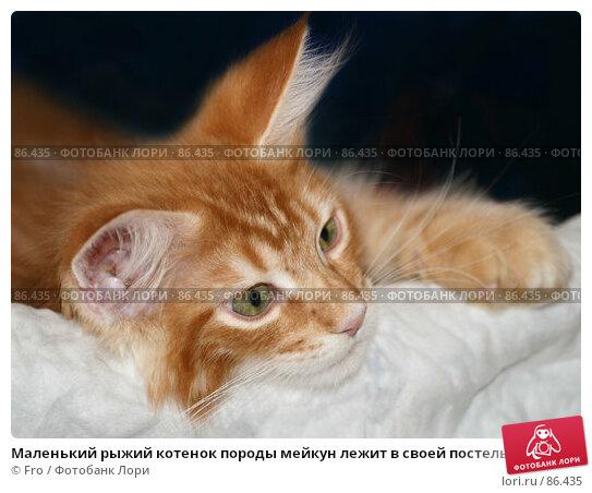 Маленький рыжий котенок породы мейкун лежит в своей постельке, фото № 86435, снято 24 апреля 2017 г. (c) Fro / Фотобанк Лори