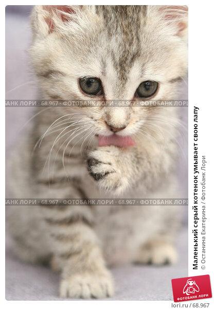 Маленький серый котенок умывает свою лапу, фото № 68967, снято 23 июля 2007 г. (c) Останина Екатерина / Фотобанк Лори