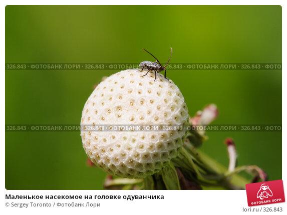 Маленькое насекомое на головке одуванчика, фото № 326843, снято 1 июня 2008 г. (c) Sergey Toronto / Фотобанк Лори