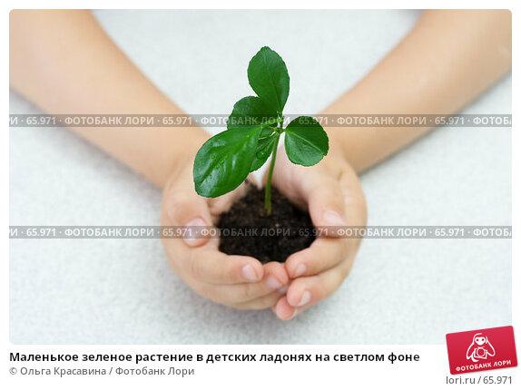 Маленькое зеленое растение в детских ладонях на светлом фоне, фото № 65971, снято 28 июля 2007 г. (c) Ольга Красавина / Фотобанк Лори