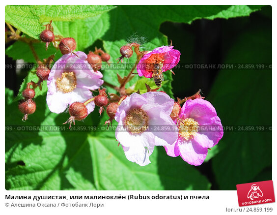 Купить «Малина душистая, или малиноклён (Rubus odoratus) и пчела», фото № 24859199, снято 5 июня 2012 г. (c) Алёшина Оксана / Фотобанк Лори