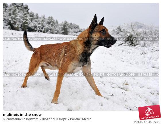Купить «malinois in the snow», фото № 8340535, снято 22 сентября 2019 г. (c) PantherMedia / Фотобанк Лори