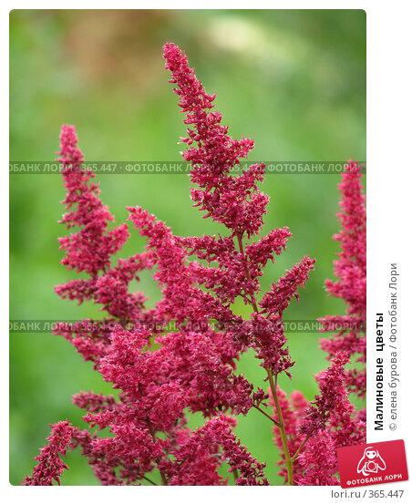 Купить «Малиновые  цветы», фото № 365447, снято 19 июля 2008 г. (c) елена бурова / Фотобанк Лори