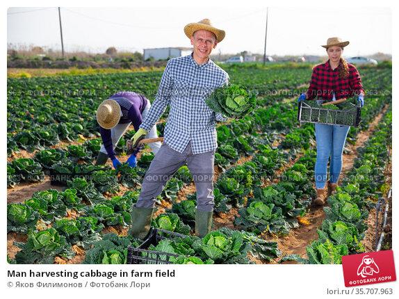 Man harvesting cabbage in farm field. Стоковое фото, фотограф Яков Филимонов / Фотобанк Лори
