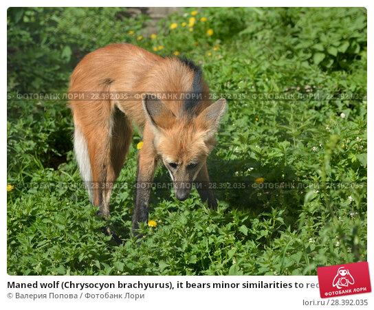 Купить «Maned wolf (Chrysocyon brachyurus), it bears minor similarities to red fox, although it belongs to different genus», фото № 28392035, снято 8 мая 2018 г. (c) Валерия Попова / Фотобанк Лори