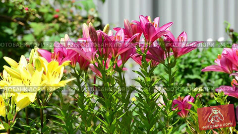 Купить «Many yellow and pink lilies bloom in flowerbed», видеоролик № 24231527, снято 17 ноября 2016 г. (c) Володина Ольга / Фотобанк Лори