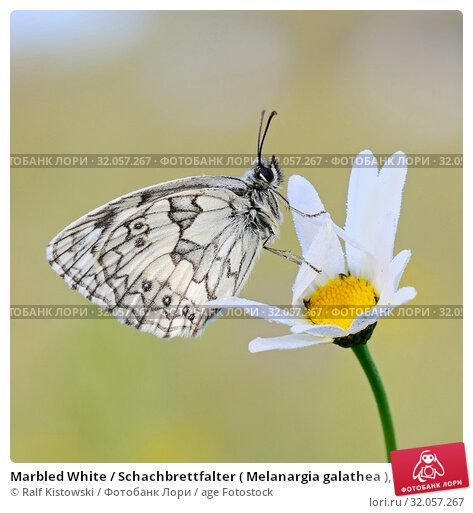 Marbled White / Schachbrettfalter ( Melanargia galathea ), male, resting on a blossoming flower (oxeye daisy), wildlife, Europe. Стоковое фото, фотограф Ralf Kistowski / age Fotostock / Фотобанк Лори