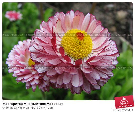 Маргаритка многолетняя махровая, фото № 272439, снято 10 июня 2007 г. (c) Беляева Наталья / Фотобанк Лори