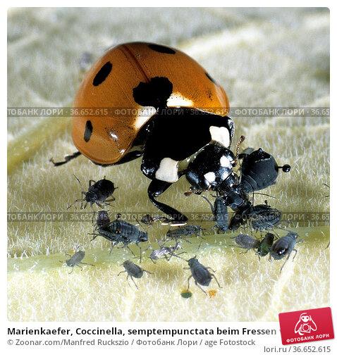 Marienkaefer, Coccinella, semptempunctata beim Fressen von Blattlaeusen... Стоковое фото, фотограф Zoonar.com/Manfred Ruckszio / age Fotostock / Фотобанк Лори