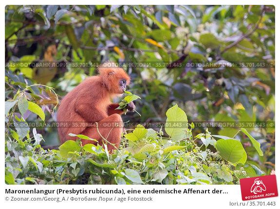 Maronenlangur (Presbytis rubicunda), eine endemische Affenart der... Стоковое фото, фотограф Zoonar.com/Georg_A / age Fotostock / Фотобанк Лори
