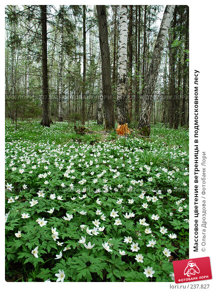 Массовое цветение ветреницы в подмосковном лесу, фото № 237827, снято 9 мая 2005 г. (c) Ольга Дроздова / Фотобанк Лори