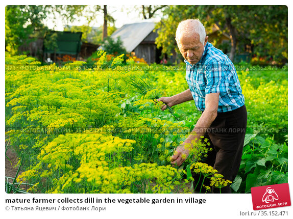 mature farmer collects dill in the vegetable garden in village. Стоковое фото, фотограф Татьяна Яцевич / Фотобанк Лори