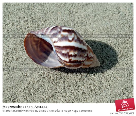 Meeresschnecken, Astraea, Стоковое фото, фотограф Zoonar.com/Manfred Ruckszio / age Fotostock / Фотобанк Лори