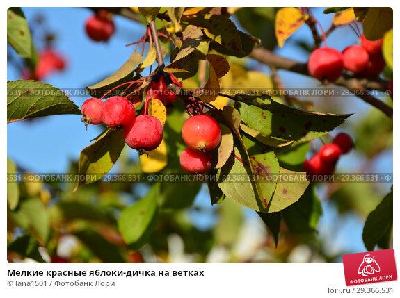 Купить «Мелкие красные яблоки-дичка на ветках», эксклюзивное фото № 29366531, снято 17 октября 2018 г. (c) lana1501 / Фотобанк Лори